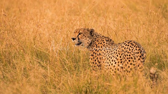 Mark Fitzsimmons Photography Cheetah