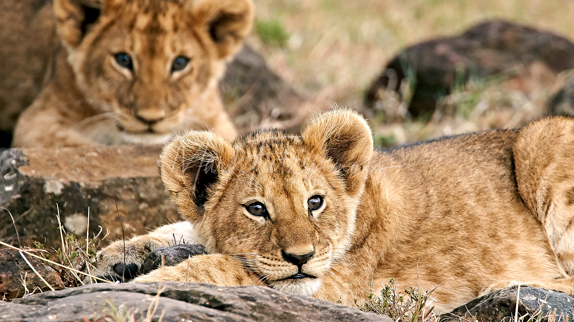Mark Fitzsimmons Photography LionCubs2