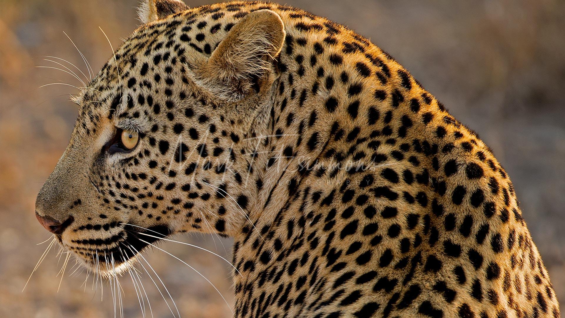 Mark Fitzsimmons Photography Leopard
