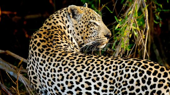 Mark Fitzsimmons Photography Leopard