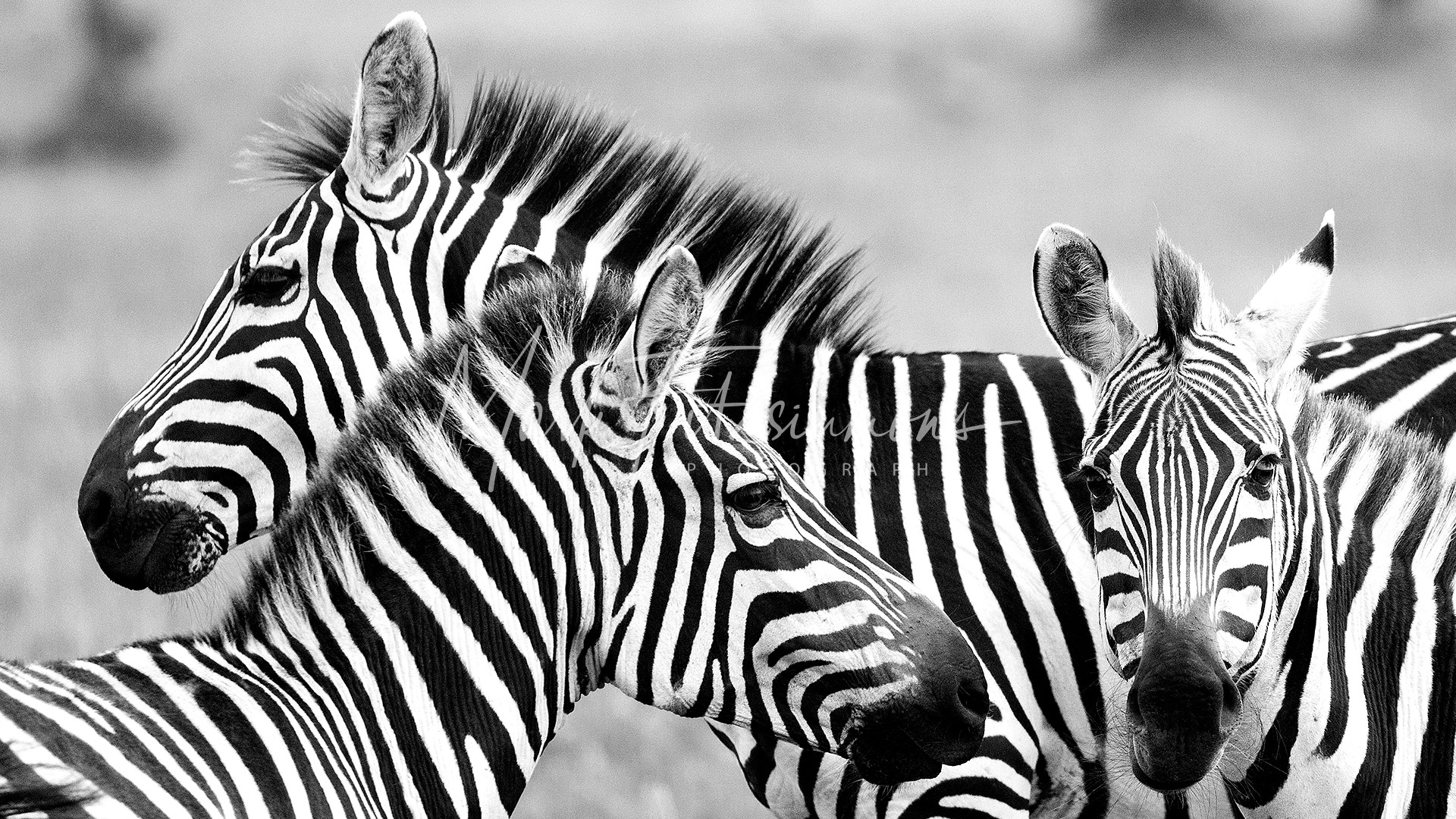 Mark Fitzsimmons Photography Zebras